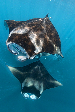 Manta Ray (Manta birostris) group filter feeding, Raa Atoll, Maldives