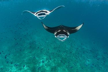 Manta Ray (Manta birostris) pair filter feeding, Raa Atoll, Maldives