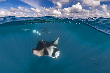 Manta Ray (Manta birostris) trio filter feeding at surface, Hanifaru, Baa Atoll, Maldives