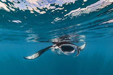 Manta Ray (Manta birostris) filter feeding at surface, Hanifaru, Baa Atoll, Maldives