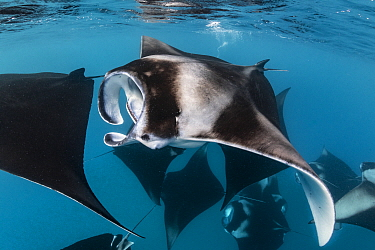 Manta Ray (Manta birostris) group filter feeding, Hanifaru, Baa Atoll, Maldives