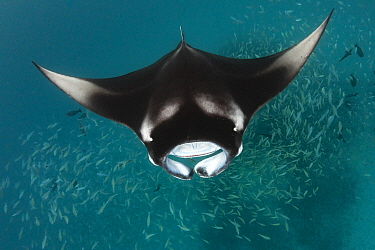 Manta Ray (Manta birostris) filter feeding, Hanifaru, Baa Atoll, Maldives