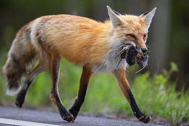 Red Fox (Vulpes vulpes) carrying rodents, bird, and egg back to den, Superior National Forest, Minnesota