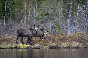 Moose (Alces alces andersoni) yearling twins, Superior National Forest, Minnesota