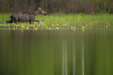 Moose (Alces alces andersoni) female wading in pond, Superior National Forest, Minnesota