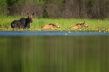 Moose (Alces alces andersoni) mother and twins in pond, Superior National Forest, Minnesota