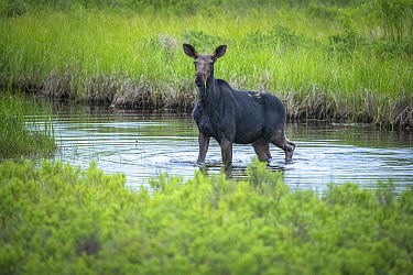 Moose (Alces alces andersoni)female in river, Seagull River, Superior National Forest, Minnesota