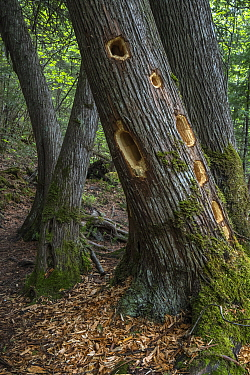 Northern White Cedar (Thuja occidentalis) tree with Pileated Woodpecker (Dryocopus pileatus) holes, Superior National Forest, Minnesota