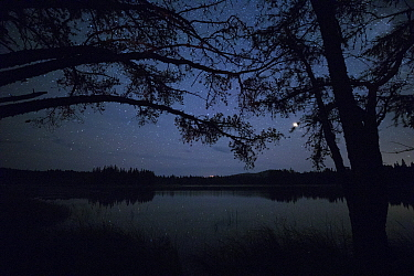 Black Spruce (Picea mariana) trees at night, Superior National Forest, Minnesota