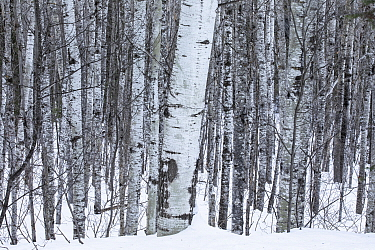 Balsam Poplar (Populus balsamifera) trees in winter, Superior National Forest, Minnesota