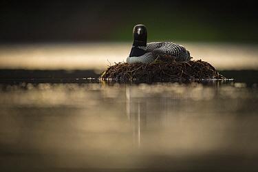 Common Loon (Gavia immer) on nest, Crosslake, Minnesota