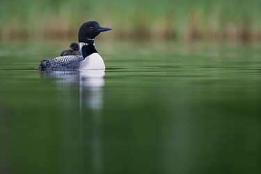 Common Loon (Gavia immer) parent carrying chick, Minnesota