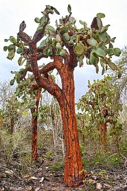 Opuntia (Opuntia echios) cactus, Santa Cruz Island, Galapagos Islands, Ecuador