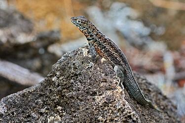 Galapagos Lava Lizard (Microlophus albemarlensis), Santa Cruz Island, Galapagos Islands, Ecuador