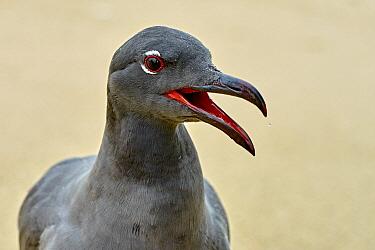Lava Gull (Larus fuliginosus) calling, Santa Cruz Island, Galapagos Islands, Ecuador