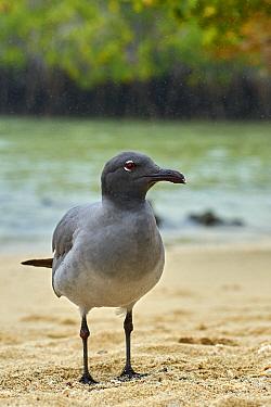 Lava Gull (Larus fuliginosus), Santa Cruz Island, Galapagos Islands, Ecuador