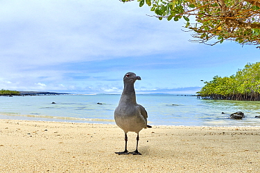 Lava Gull (Larus fuliginosus) on beach, Santa Cruz Island, Galapagos Islands, Ecuador