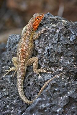 Galapagos Lava Lizard (Microlophus albemarlensis) female, Santa Cruz Island, Galapagos Islands, Ecuador
