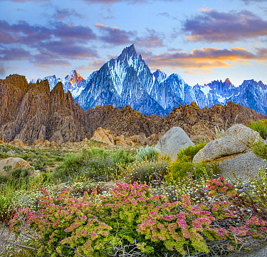 Shadscale (Atriplex confertifolia) flowering, Lone Pine Peak, Alabama Hills, Sierra Nevada, California