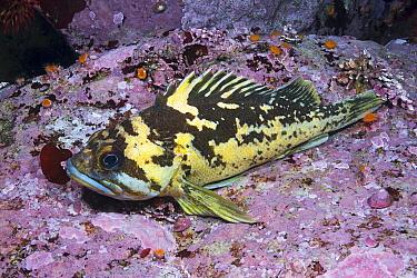 Black-and-yellow Rockfish (Sebastes chrysomelas), Point Lobos State Reserve, California