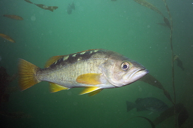 Olive Rockfish (Sebastes serranoides), Point Lobos State Reserve, California