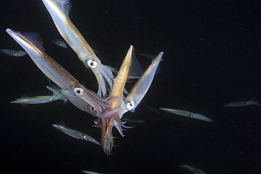 Squid (Loligo opalescens) multiple males attempting to mate with female, Catalina Island, California