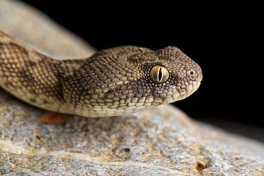 Oman Saw-scaled Viper (Echis omanensis), Ad Dakhiliyah, Oman