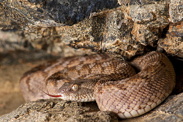 Oman Saw-scaled Viper (Echis omanensis) flicking tongue, Ad Dakhiliyah, Oman