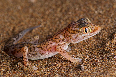 Southern Short-fingered Gecko (Stenodactylus leptocosymbotes), Barka, Oman