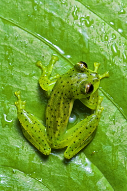 Emerald Glass Frog (Centrolene prosoblepon) male at night, Mindo, Ecuador