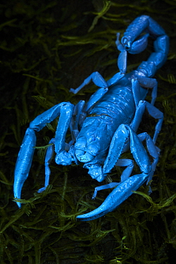 Scorpion, seen under UV light, Bigal River, Sumaco Napo-Galeras National Park, Ecuador