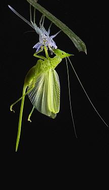 Katydid (Tettigoniidae) moulting, Bigal River, Sumaco Napo-Galeras National Park, Ecuador