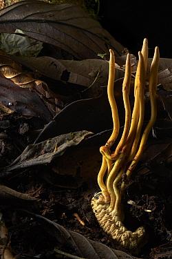 Sac Fungus (Cordyceps sp) infected beetle larva, Mindo, Ecuador