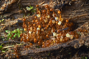 Ant (Formicidae) nest with adults carrying larvae, Ecuador