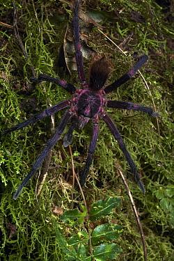 Tarantula (Pamphobeteus sp) male, Mindo, Ecuador