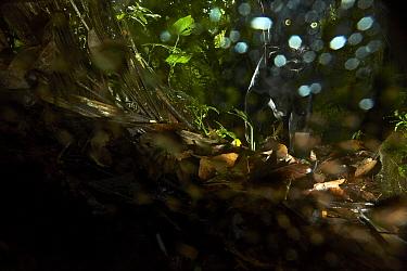 Jaguar (Panthera onca), melanistic animal photographed with remote camera, Ecuador