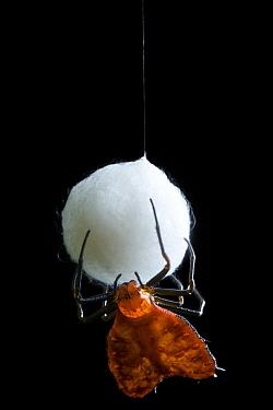 Spiny Spider (Micrathena clypeata) protecting egg case, Bigal River, Sumaco Napo-Galeras National Park, Ecuador