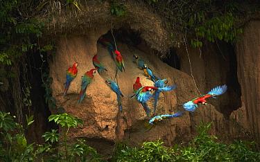 Scarlet Macaw (Ara macao) and Blue and Yellow Macaw (Ara ararauna) flock at clay lick, Amazon, Peru