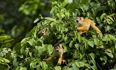 Squirrel Monkey (Saimiri sp) trio, Amazon, Peru