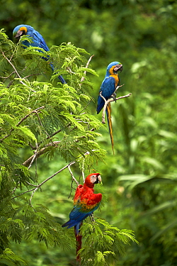 Scarlet Macaw (Ara macao) and Blue and Yellow Macaws (Ara ararauna), Tambopata-Candamo Nature Reserve, Peru