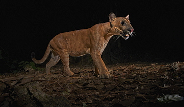 Mountain Lion (Puma concolor) at night, Tambopata-Candamo Nature Reserve, Peru