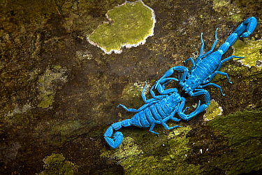 Scorpions courting, seen under UV light, Manu National Park, Peru