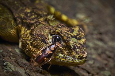 Cockroach on lizard, Tambopata-Candamo Nature Reserve, Peru