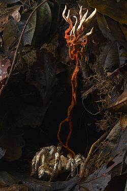 Sac Fungus (Cordyceps sp) that infected a tarantula, Manu National Park, Peru