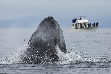 Humpback Whale (Megaptera novaeangliae) gulp feeding on Northern Anchovy (Engraulis mordax) near whale watching boat, Monterey Bay, California