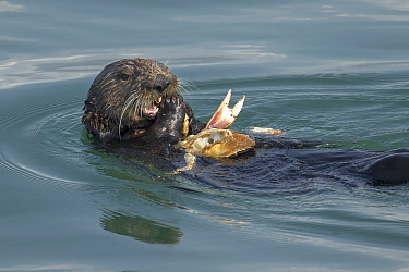 Sea Otter (Enhydra lutris) feeding on Dungeness Crab (Cancer magister) prey, Monterey Bay, California