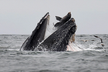 Humpback Whale (Megaptera novaeangliae) accidentally traps California Sea Lion (Zalophus californianus) in mouth while gulp feeding, Monterey Bay, California, sequence 1 of 4