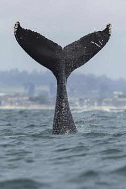 Humpback Whale (Megaptera novaeangliae) tail slapping, Monterey Bay, California
