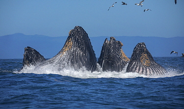 Humpback Whale (Megaptera novaeangliae) pod gulp feeding on Northern Anchovy (Engraulis mordax), Monterey Bay, California