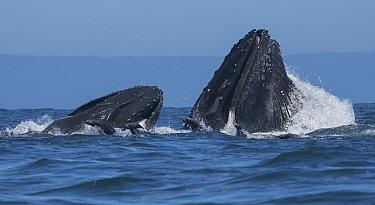 Humpback Whale (Megaptera novaeangliae) pair gulp feeding on Northern Anchovy (Engraulis mordax) with California Sea Lions (Zalophus californianus), Monterey Bay, California